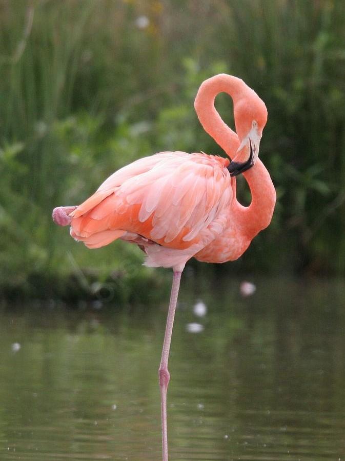 D026088d31553eb4f678e6d176eca590--flamants-roses-pink-flamingos